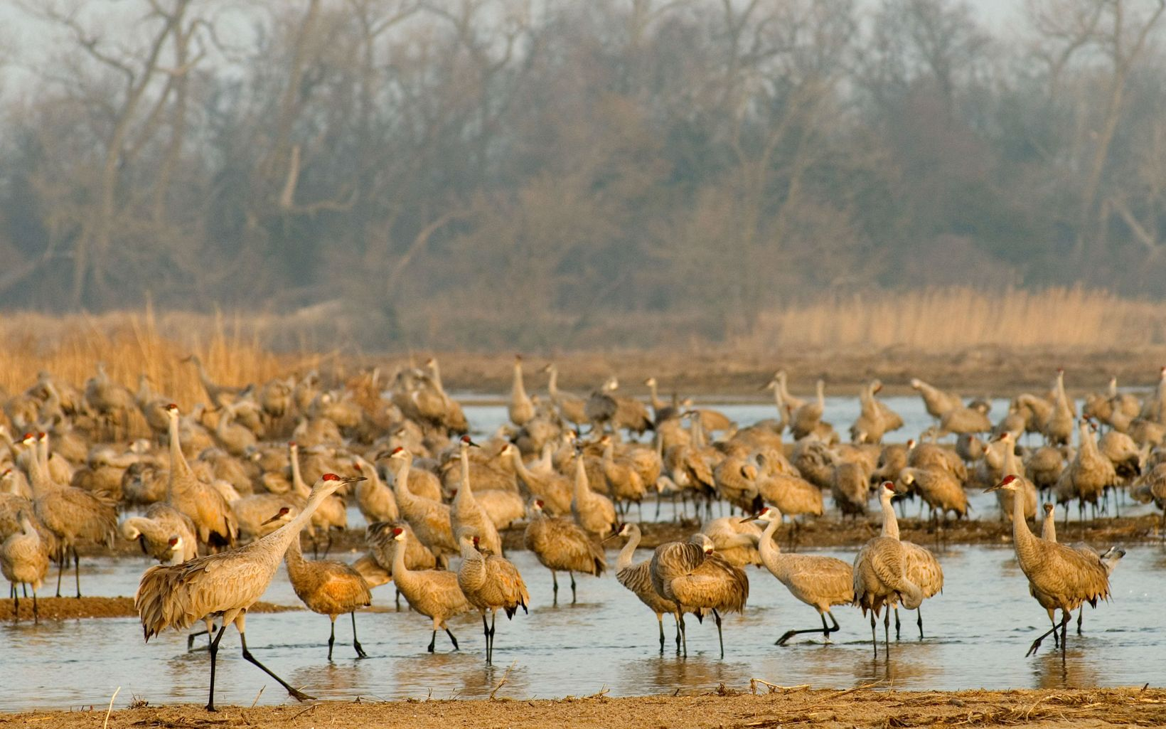 on their overnight roost along the Platte River in Nebraska.