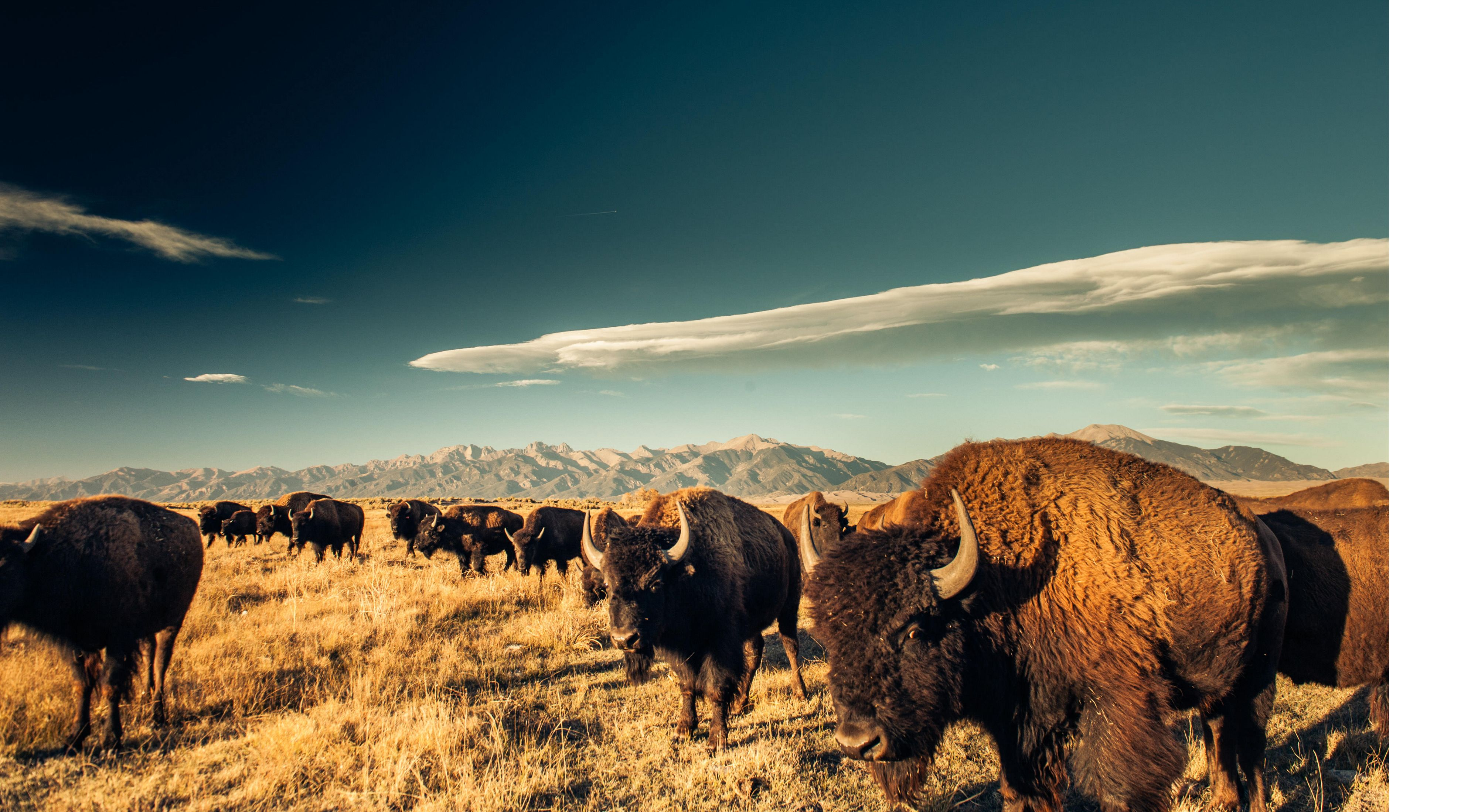 (ALL INTERNAL RIGHTS, LIMITED EXTERNAL RIGHTS) Bison (Bison bison) grazing on the Zapata Ranch with the Great Sand Dunes NP and Sangre de Cristo mountains in the background, Colorado USA. PHOTO CREDIT: © Nick Hall