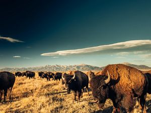 A herd of buffalo look golden as the sun sets