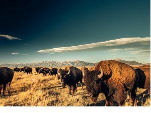 A herd of buffalo look golden as the sun sets
