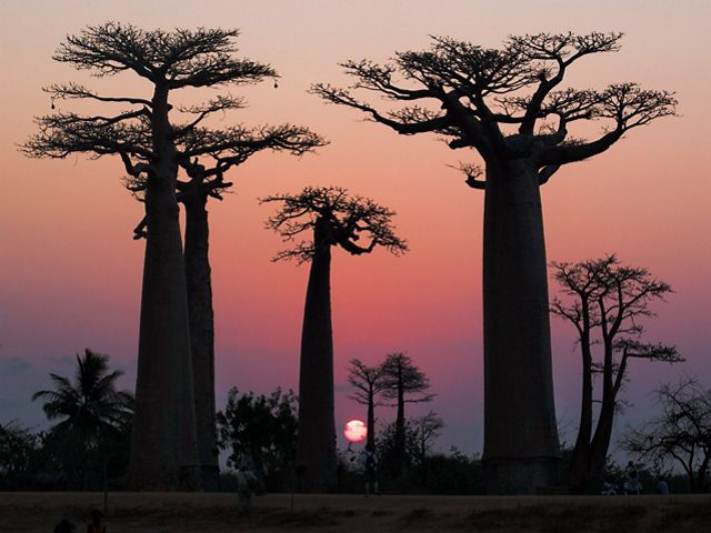 Sunset on the Avenue of the Baobabs near Morondava. Madagascar, Africa.