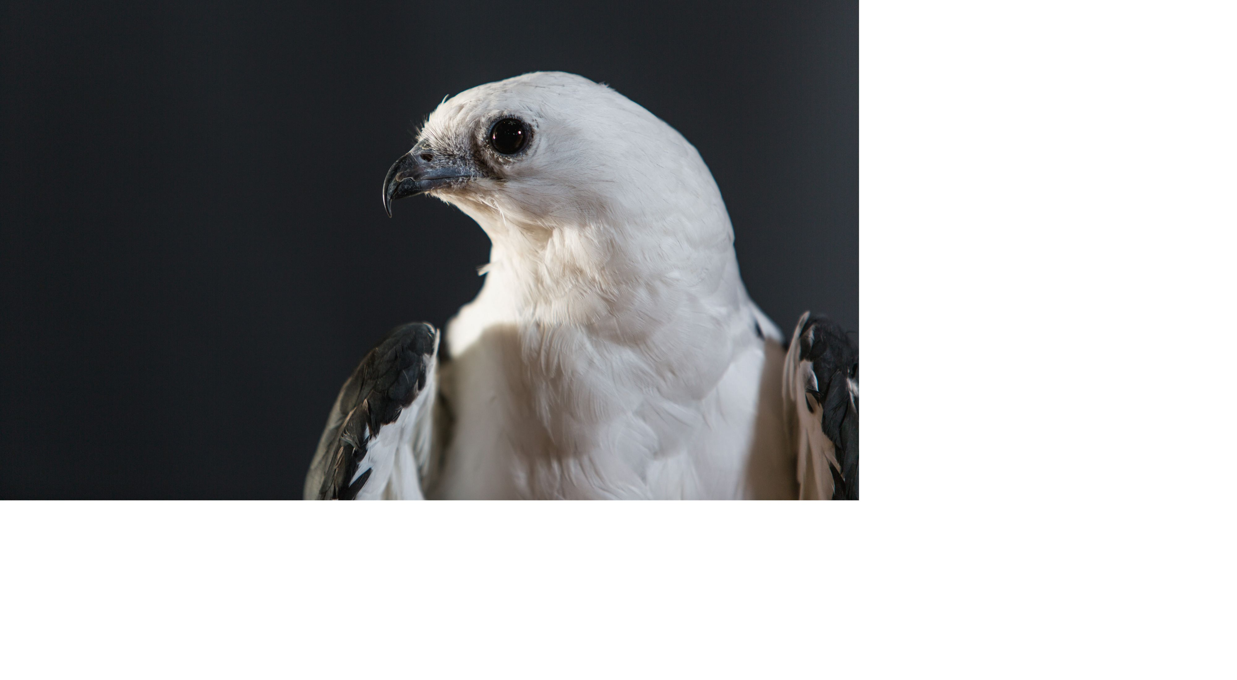 closeup of a white bird's head turned to the side