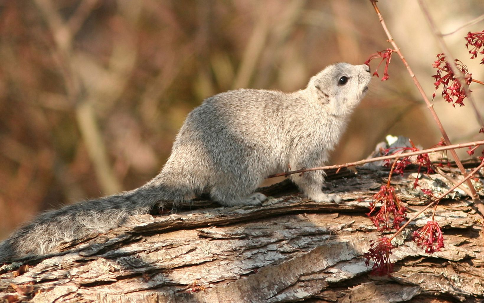 The Delmarva fox squirrel conservation effort has been an increasing success.