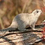 A Delmarva fox squirrel rests on a log. A small brown squirrel stands on top of a fallen log. Its head is raised towards a thin twig with small red leaves as though considering having a nibble.