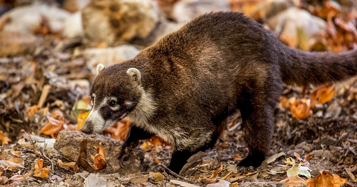 closeup of a medium-sized brown furry animal
