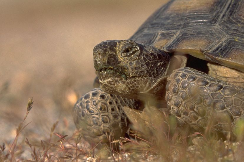 A closeup of a desert tortoise head, legs, and shell with small vegetation in the foreground.