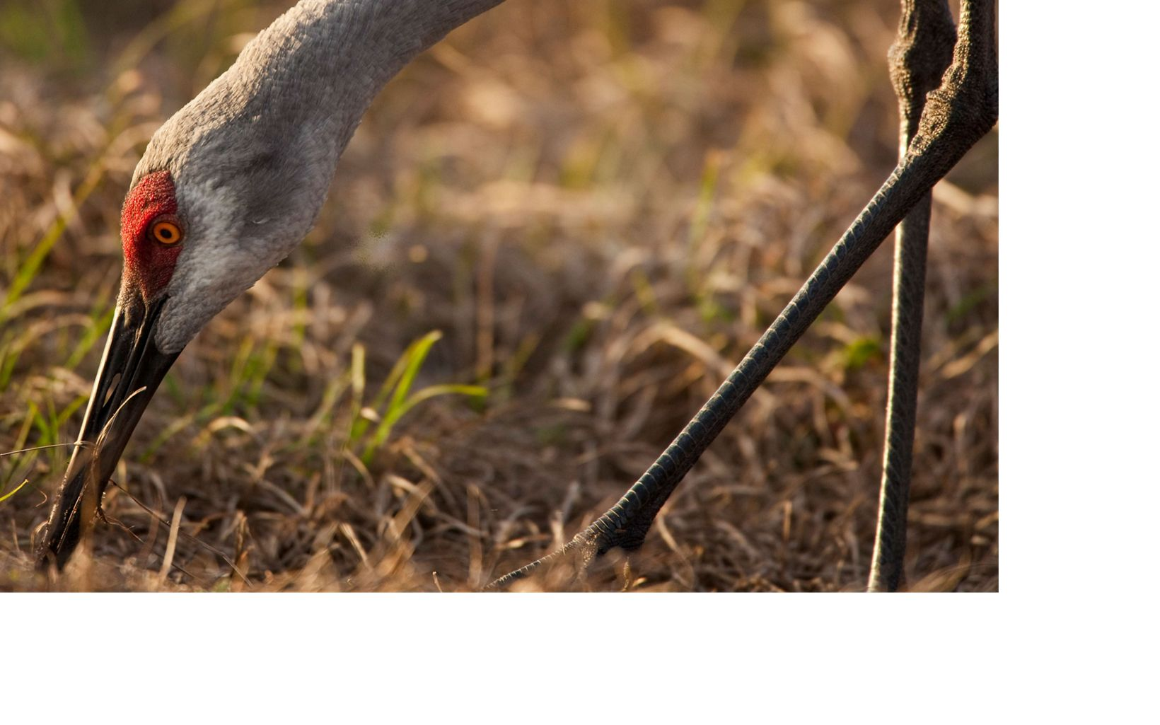 closeup of a sandhill crane head as it grazes