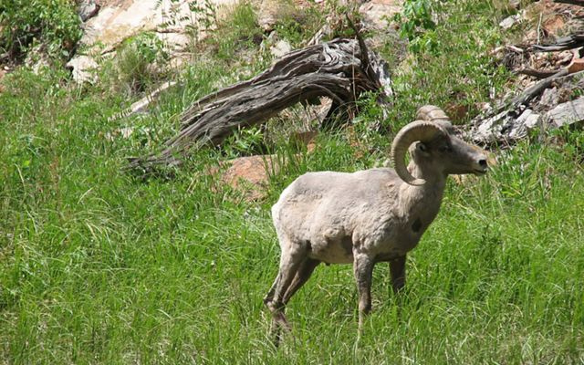 White sheep with large curved horns.