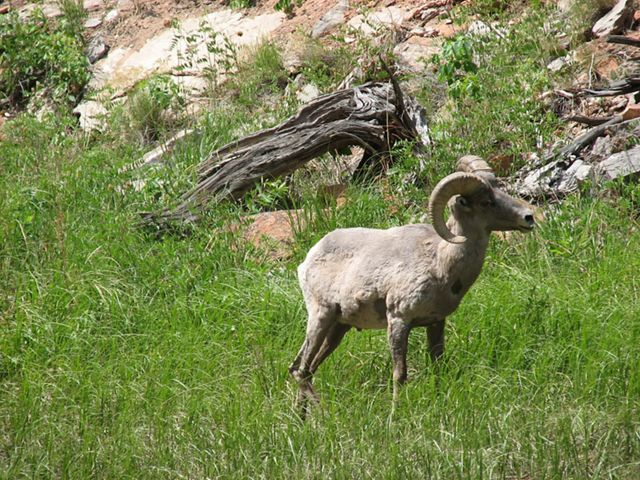 A bighorn sheep on a grassy mountainside.
