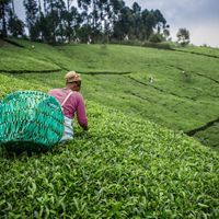 A young woman picking tea leaves on a tea plantation.