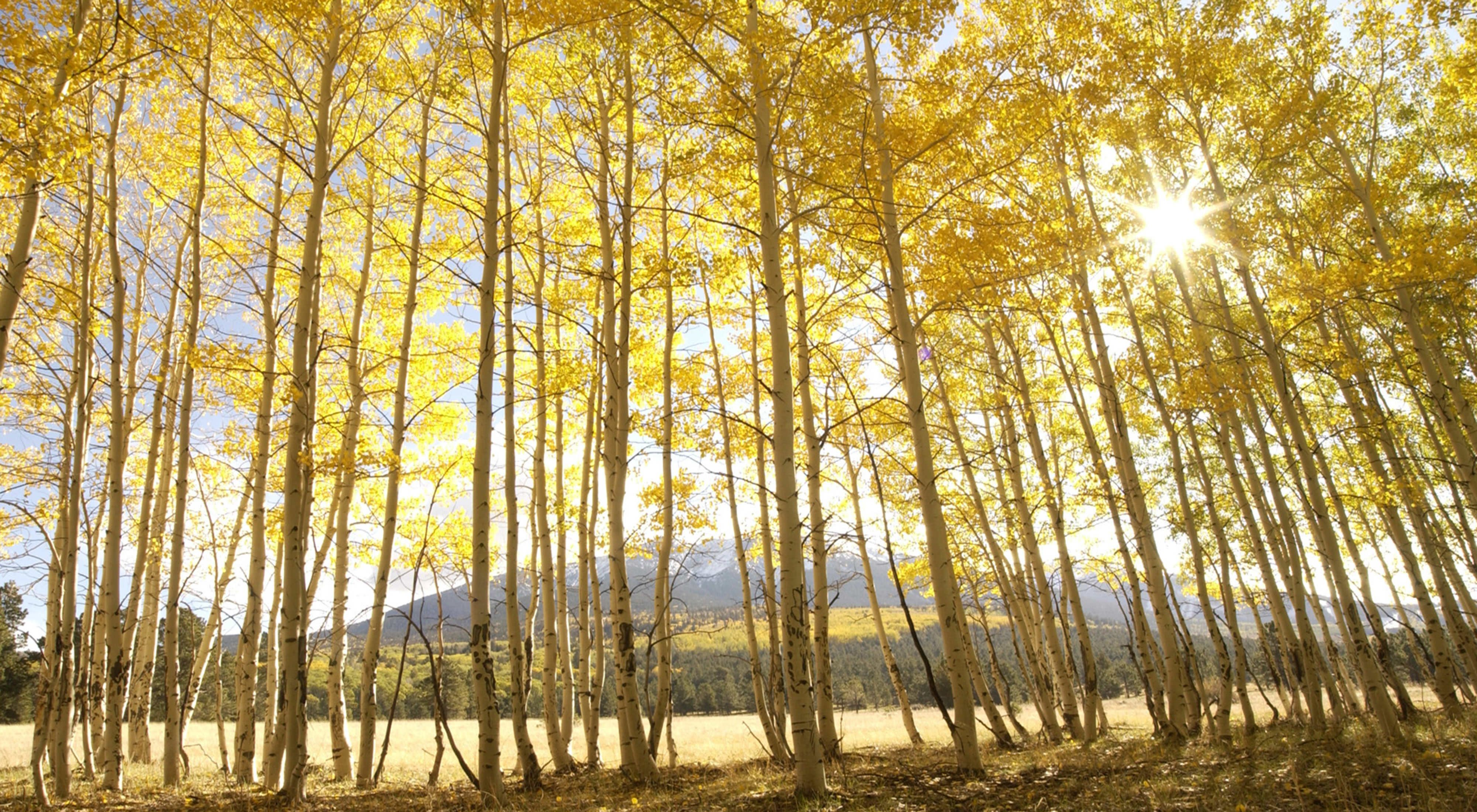 A grove of aspen trees in autumn with sun peeking through