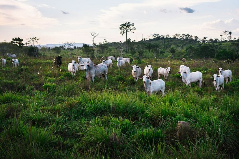 cattle stand in a sustainable pasture full of lush grass and some trees