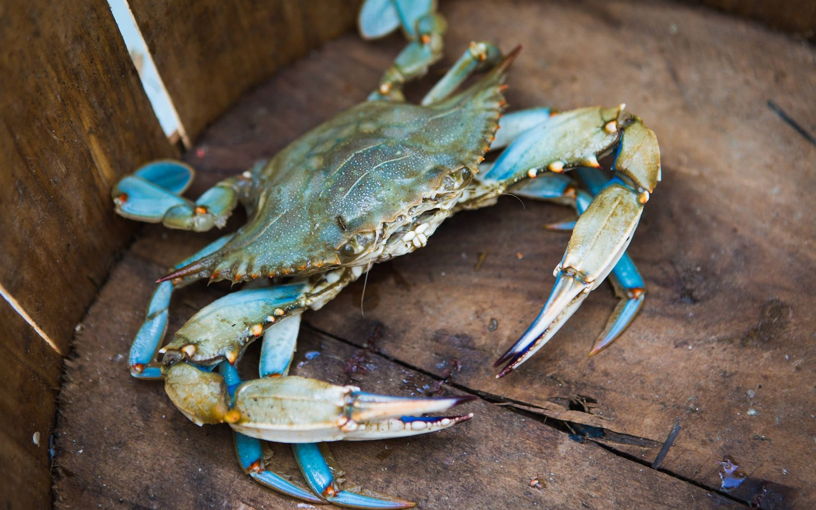 A lone blue crab sits at the bottom of a wood bucket.
