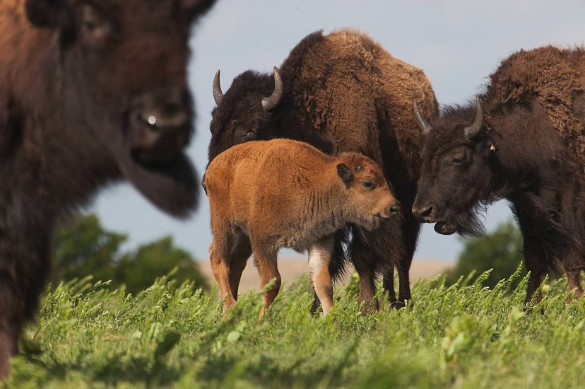 Young bison calf surrounded by three adult bison.