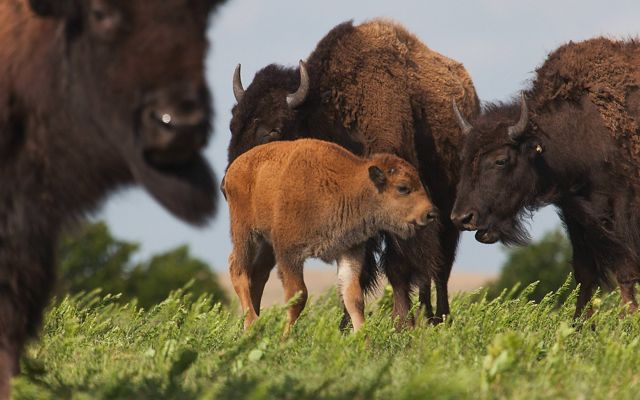 A baby bison stands near the herd on green grass