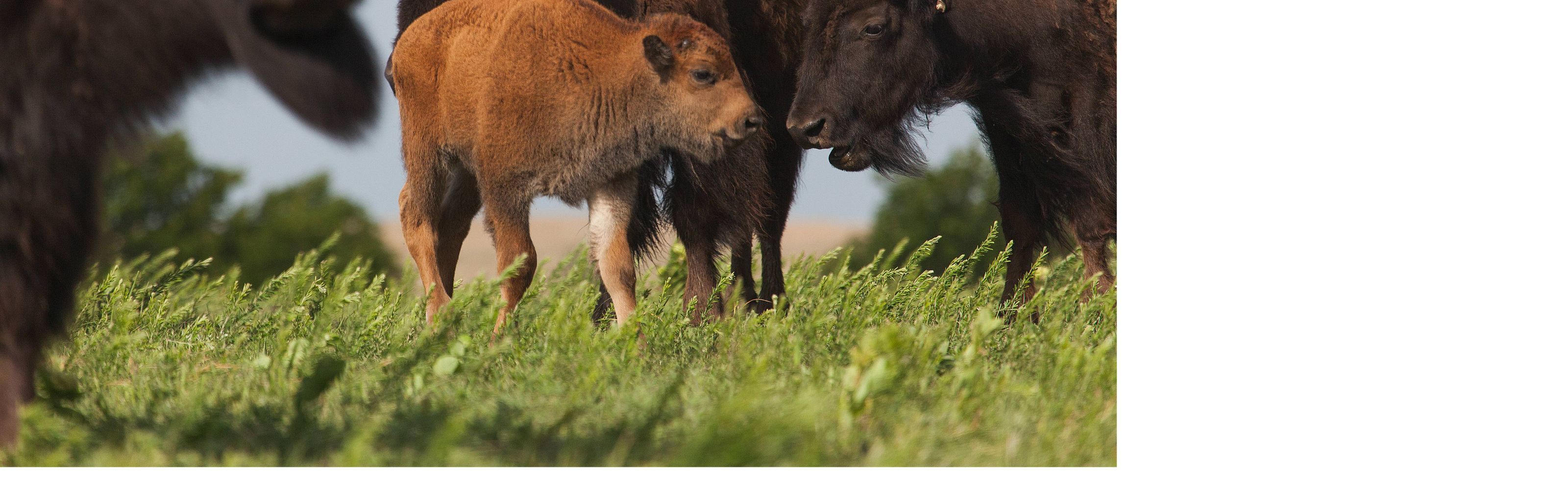 roam and graze the spring grasses across the more than 40,000 acre Tallgrass Prairie Preserve in Pawhuska, Oklahoma.