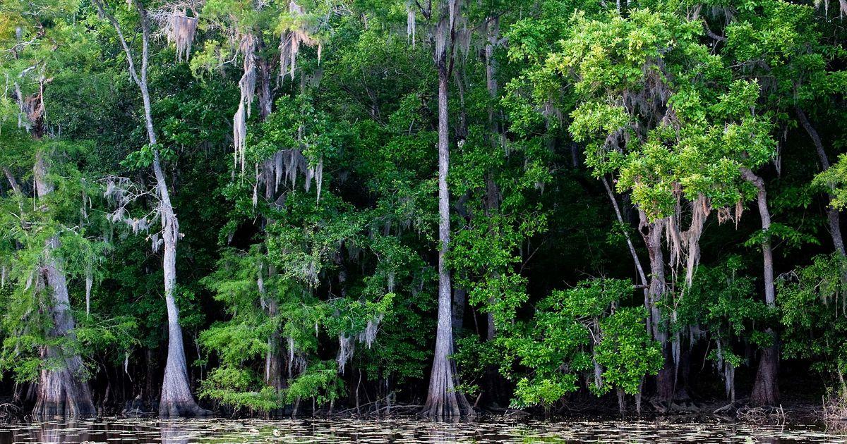 Moss-draped cedars along the Altamaha River