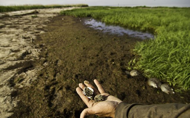 A handful of horseshoe crab eggs, which the red knots and other birds feed on.©Erika Nortemann/The Nature Conservancy(CC BY 2.0)