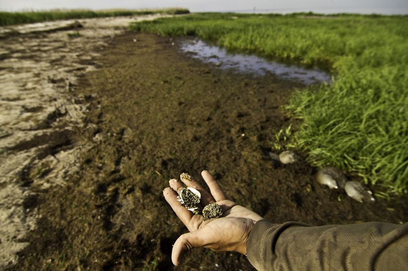 An adult's hand is extended in the lower foreground. Two small gray clumps of horseshoe crab eggs sit in the person's palm. A flat, muddy wetland edged with tall green marshgrass is in the background.