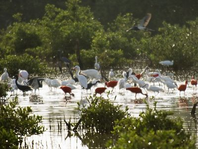 Birds feeding in estuary in the vicinity of Morrocoy National Park along the Caribbean Sea of Venezuela.