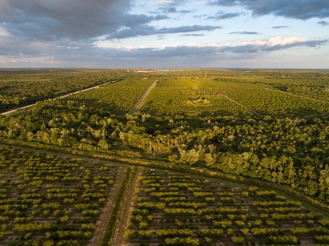 Aerial photo of a portion of the land easement between crops at Cypress Creek Grove, a citrus grove owned by Dan Peregrin in LaBelle, Florida. Parts of Cypress Creek Grove are protected by a conservation easement funded by The Nature Conservancy in order to preserve a vital link in the Florida Wildlife Corridor and Florida Panther Dispersal Zone across the Caloosahatchee River. This grove is on the north bank of the Caloosahatchee River, directly north of other ranches, including Goodno (aka  Lone Ranger) Ranch on the south bank, and Black Boar Ranch south of that, both protected by conservation easements funded and supported by The Nature Conservancy. April 2019.