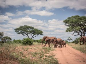 Photo of elephants crossing an African road.