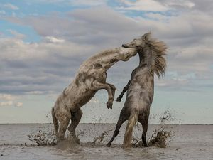 Two young stallions play on the Rhône Delta in the Camarguais region of France.