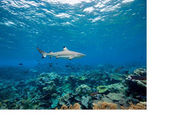 A blacktip shark swims above a reef