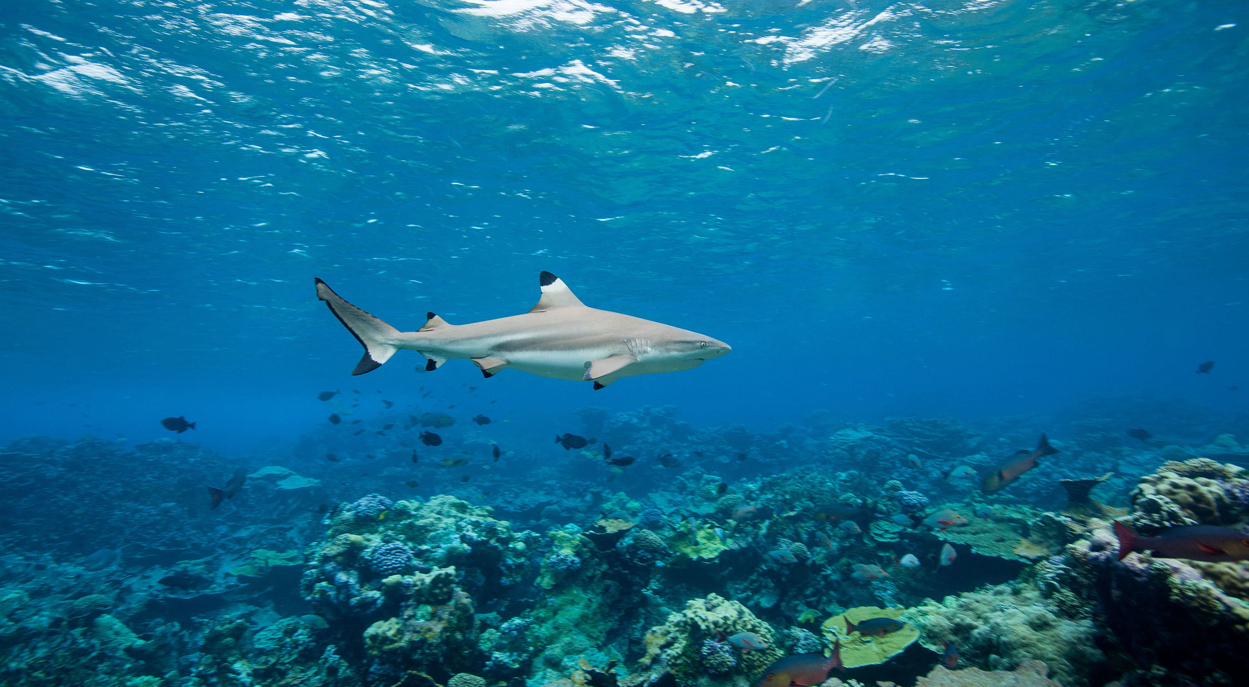 An adult blacktip shark cruises over Penguin Spit Reef, located near the atoll's western channel. Blacktips typically grow up to 5 feet long.