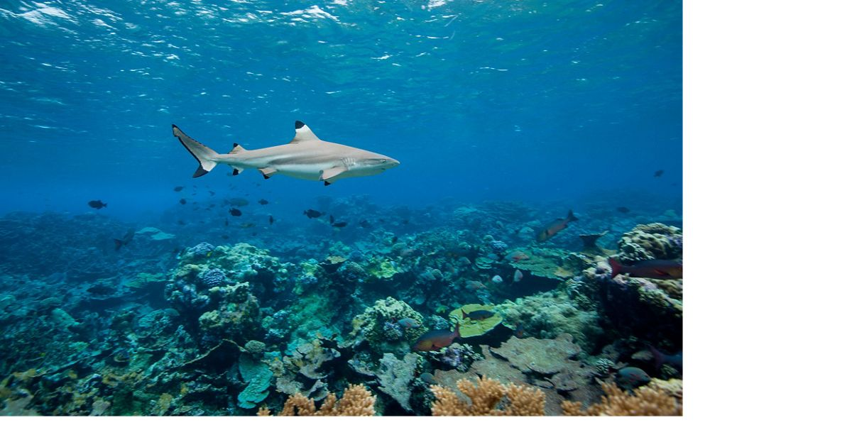 A blacktip shark swims above a reef