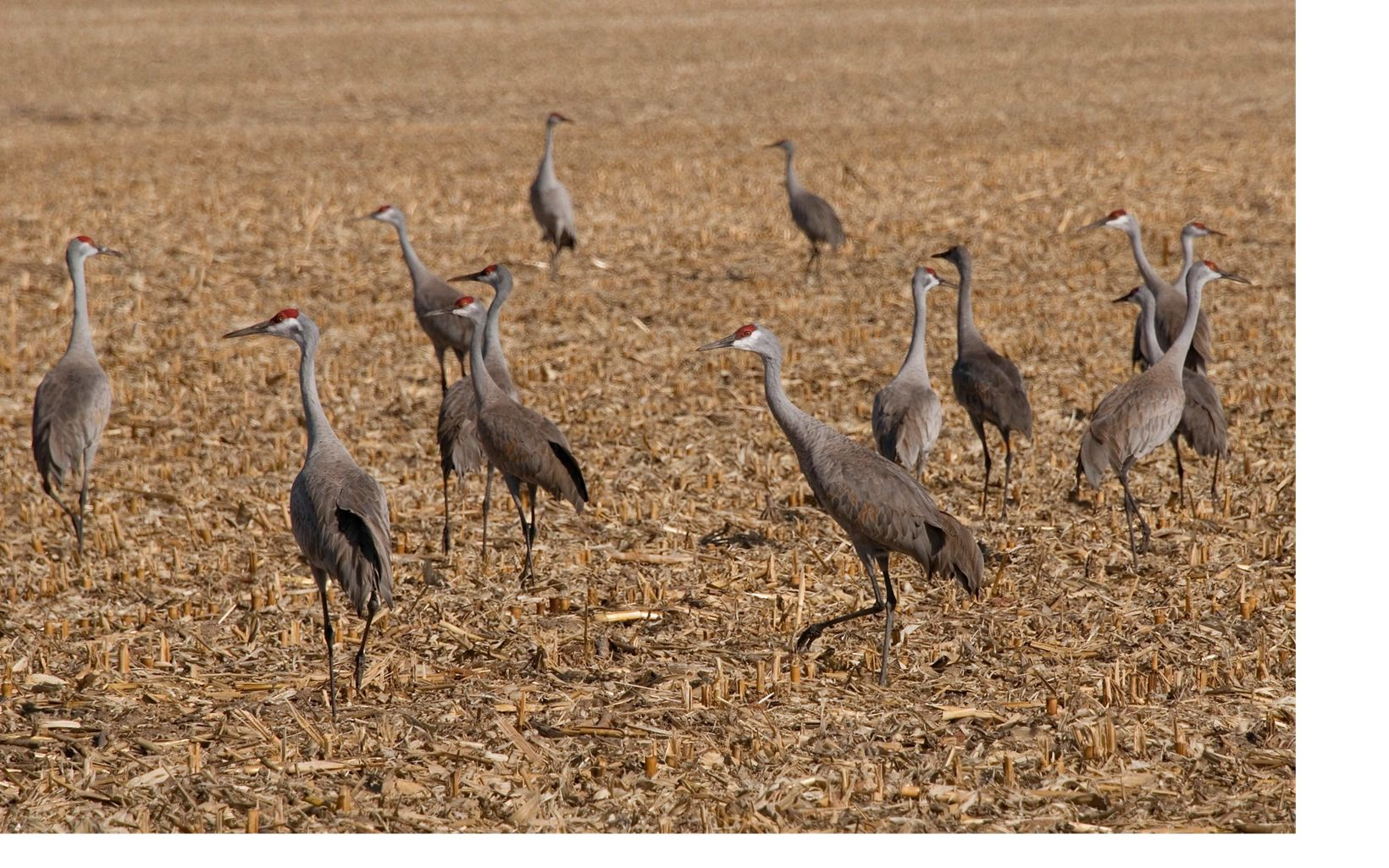 in a corn field during their annual migration stop along the Platte River in south central Nebraska.