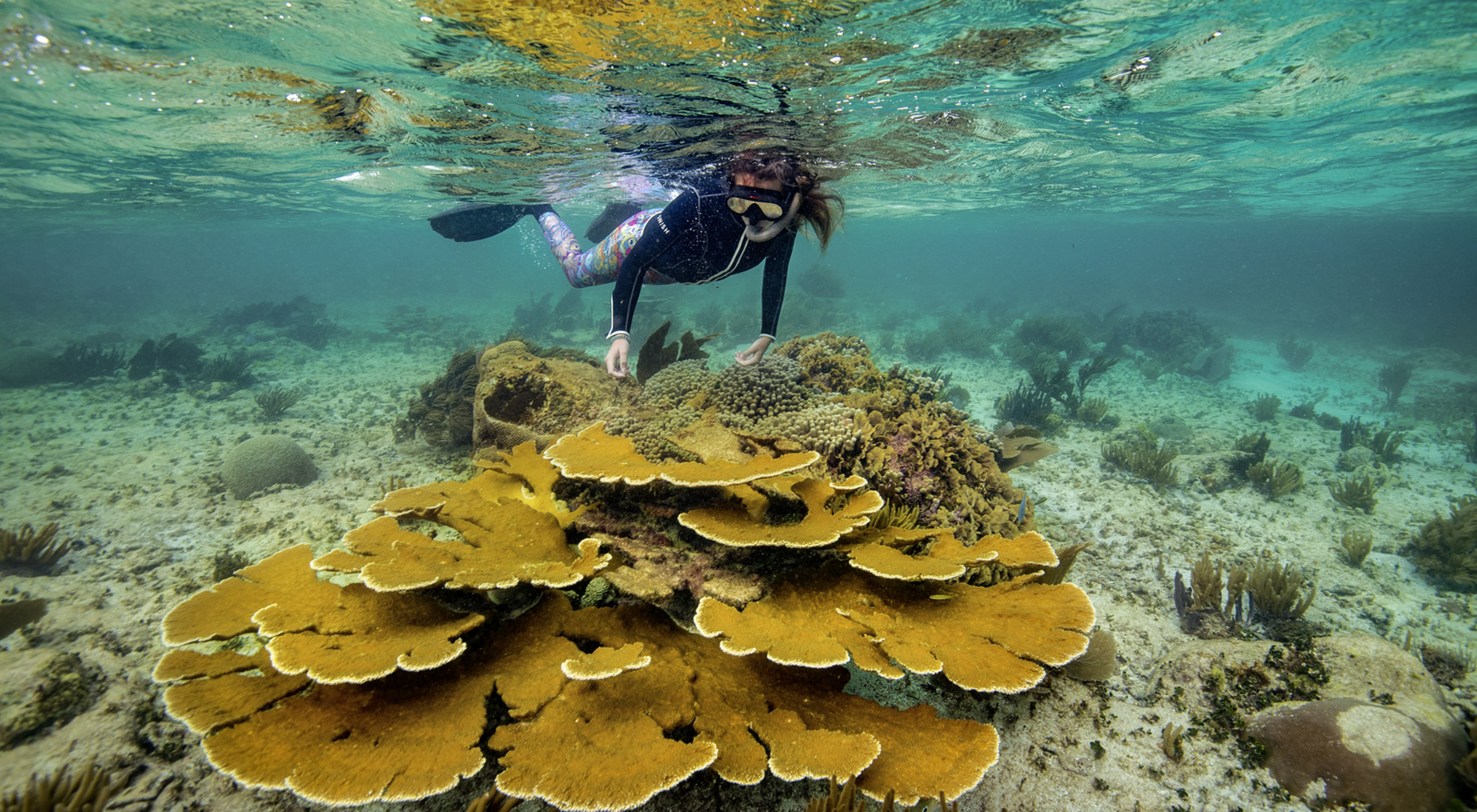 A snorkeler swims past a large stand of elkhorn coral (Acropora palmata) along a reef north of main dock in Puerto Morelos, Mexico.
