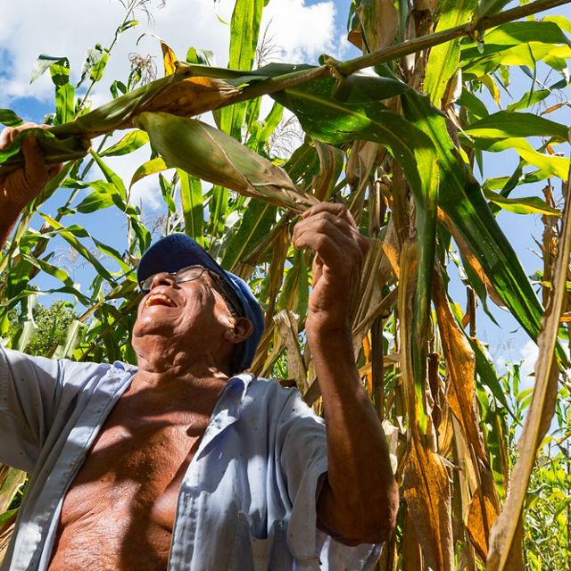 "(TNC LICENSE) October 2016. 79-year-old Dionisio Yam Moo checks on his corn in his ""milpa"" personal agricultural field. He has adopted his own method of conservation agriculture planting beans high in nitrogen below his corn plants. The Nature Conservancy works with landowners, communities, and governments in Mexico to promote low-carbon rural development through the design and implementation of improved policy and practice in agriculture, ranching, and forestry. The Conservancy is leading the initiative, Mexico REDD+ Program in conjunction with the Rainforest Alliance, the Woods Hole Research Center, and Espacios Naturales y Desarrollo Sustentable. Photo credit: © Erich Schlegel"