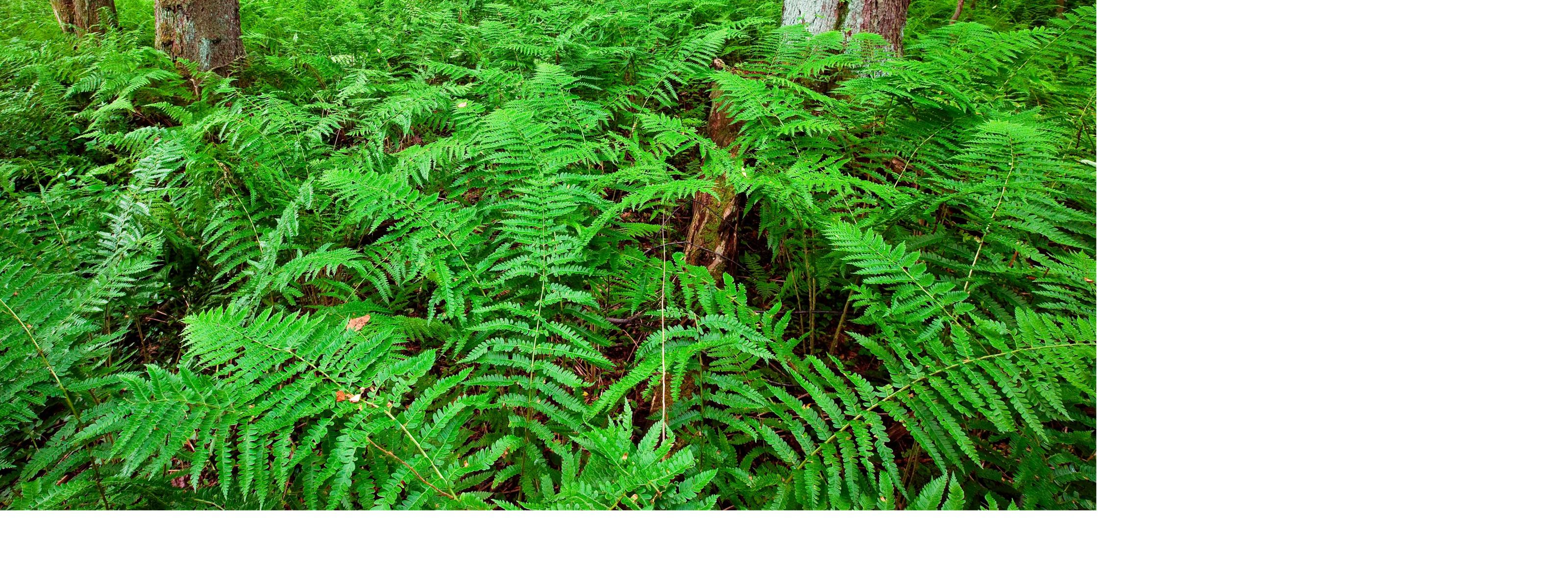 Ferns cover the woodland floor at The Nature Conservancy's Cranesville Swamp Preserve in northern West Virginia.
