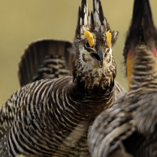 Prairie Chickens on the booming grounds during the Spri