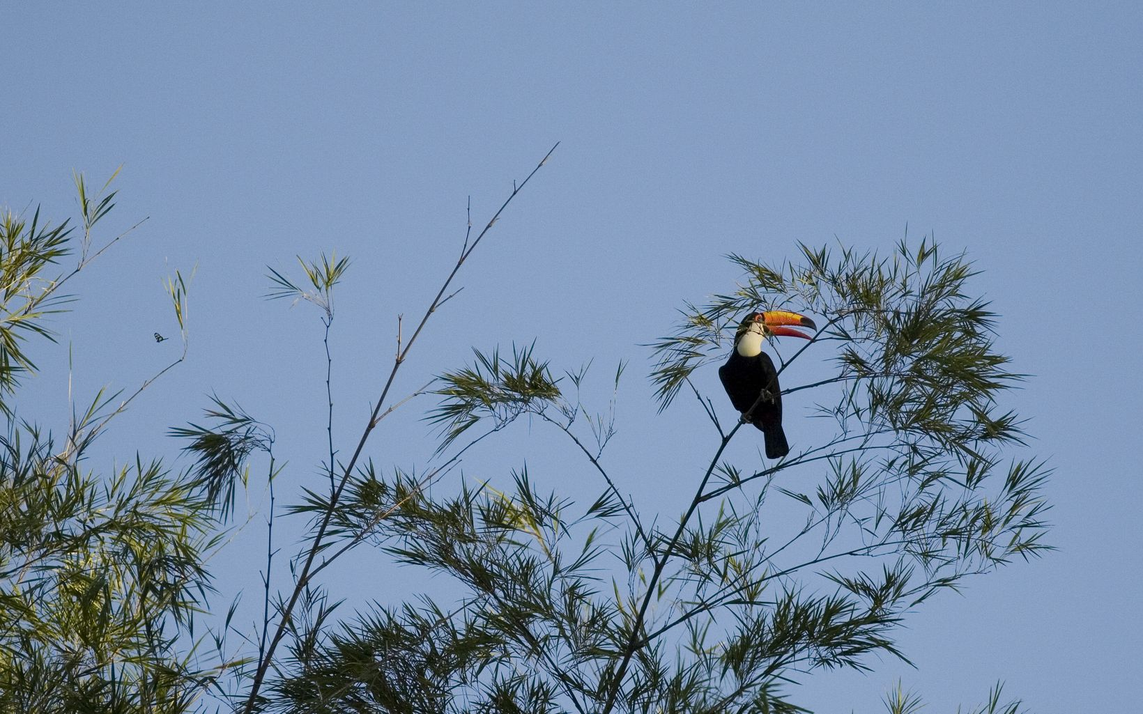 Toucan perched in bamboo along the Iguazu River.