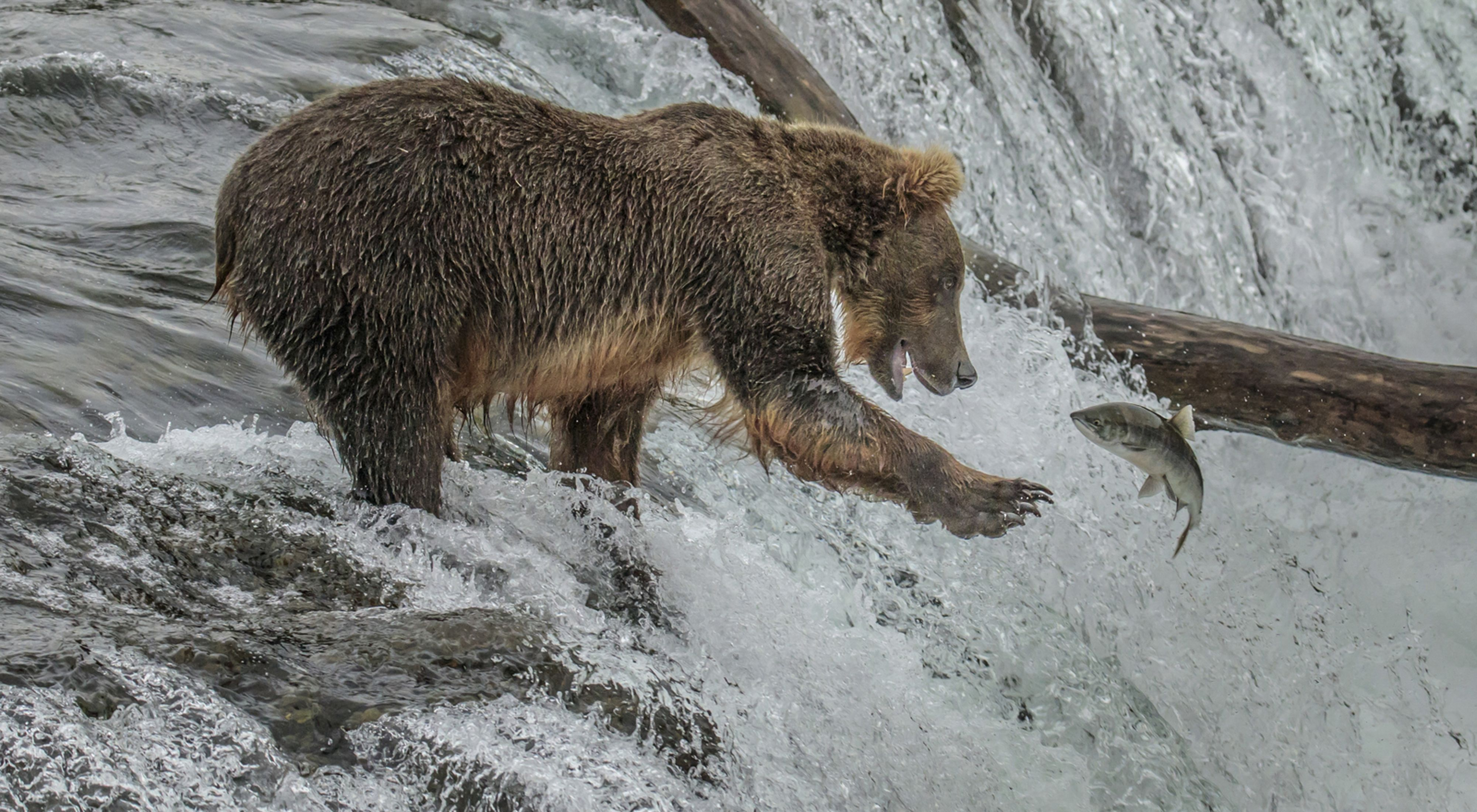 Photo of a grizzly bear in river catching a fish.