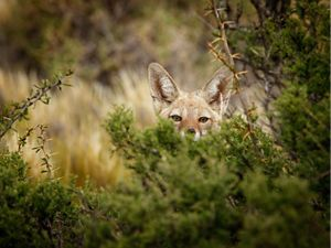 A fox pokes head out from behind bush in Patagonia.