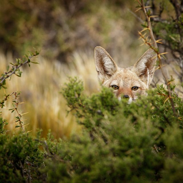 A fox peeks out from behind a bush in Patagonia.