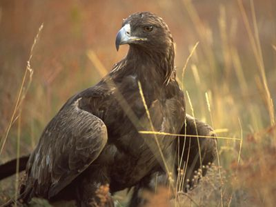 a golden eagle stands in a field