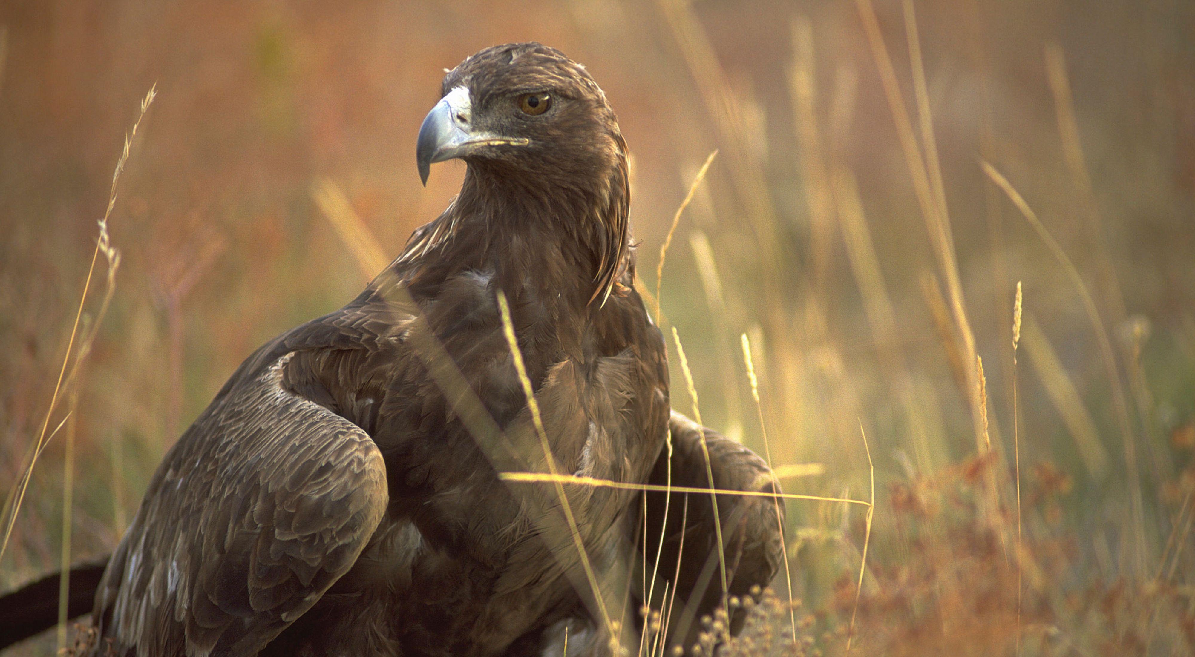 Golden eagle at Zumwalt Prairie in Oregon