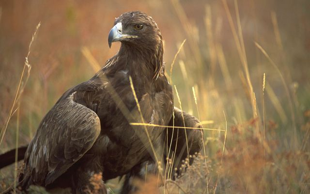 A large, dark brown eagle standing in dried grass.