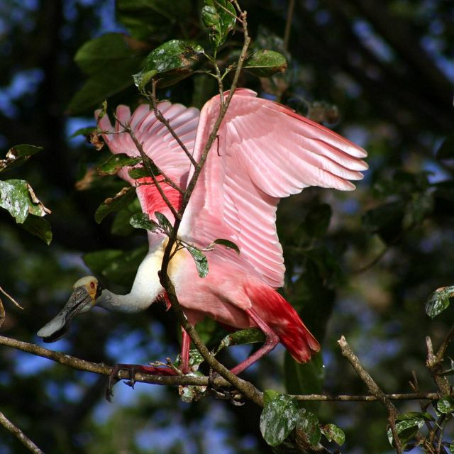 A roseate spoonbill lifts its vivid pink wings in flight from its tree branch perch on Isla Zapote in the Solentiname archipelago of Lake Nicaragua, Nicaragua. FULL USAGE RIGHTS