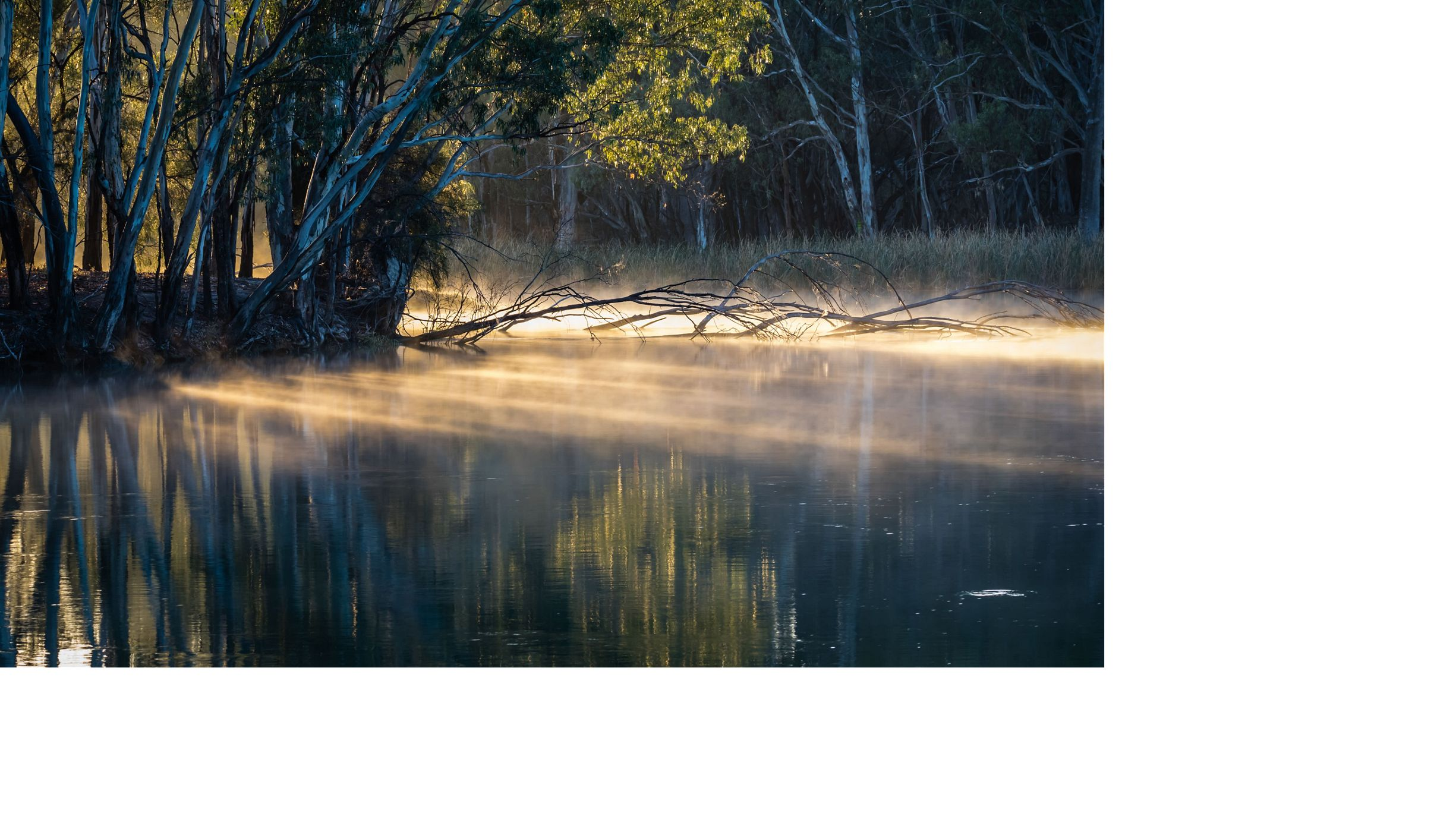 Red Gum trees line the bank of Frenchmans Creek, a short tributary of the Darling River in west New South Wales at dawn.