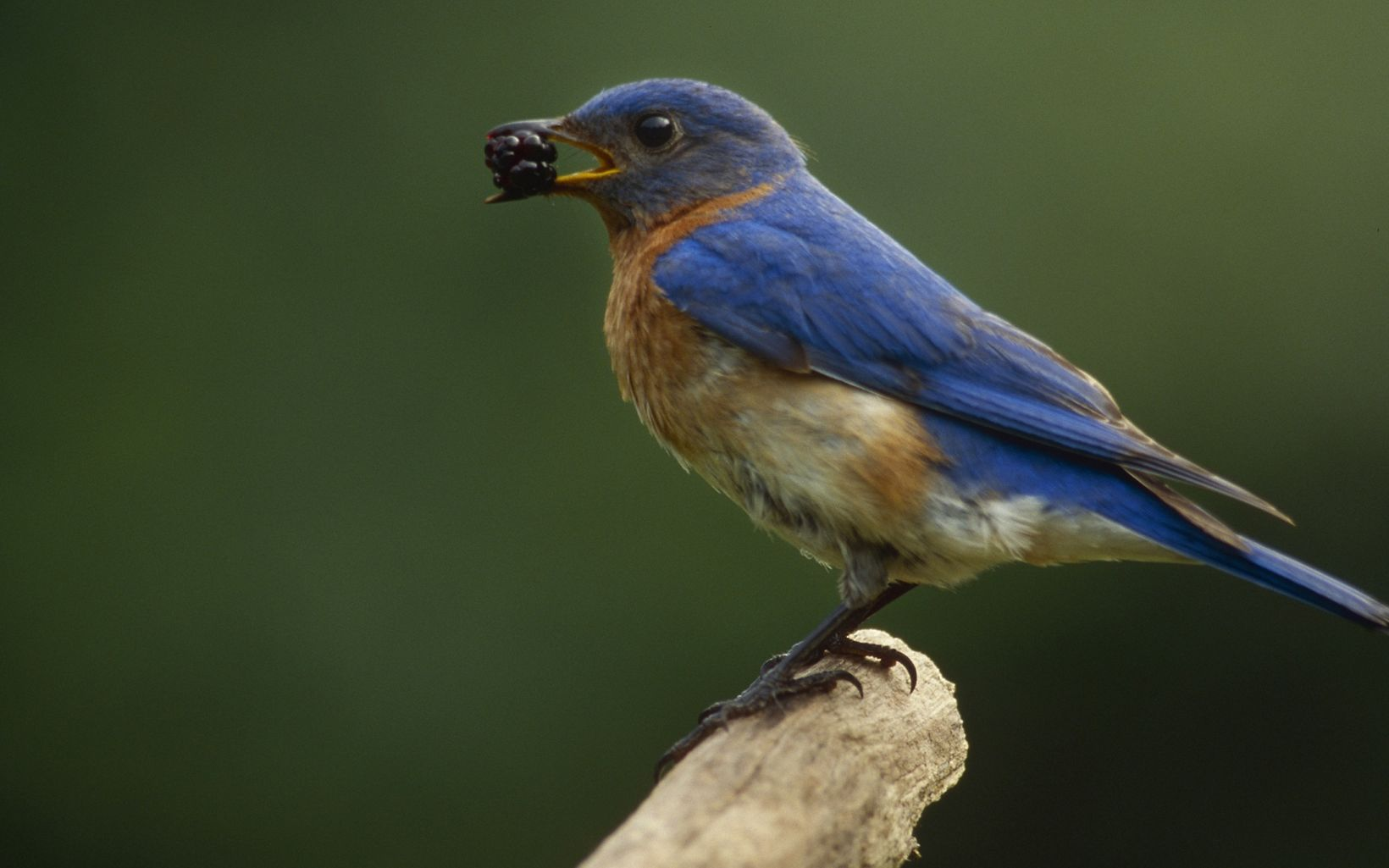 A blue bird with orange breast feathers perches on a branch with a blackberry held in its beak.