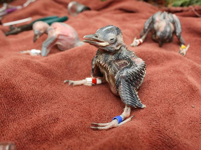 Days old featherless woodpecker chicks sit on a red towel after being banded with color coded identification bands.