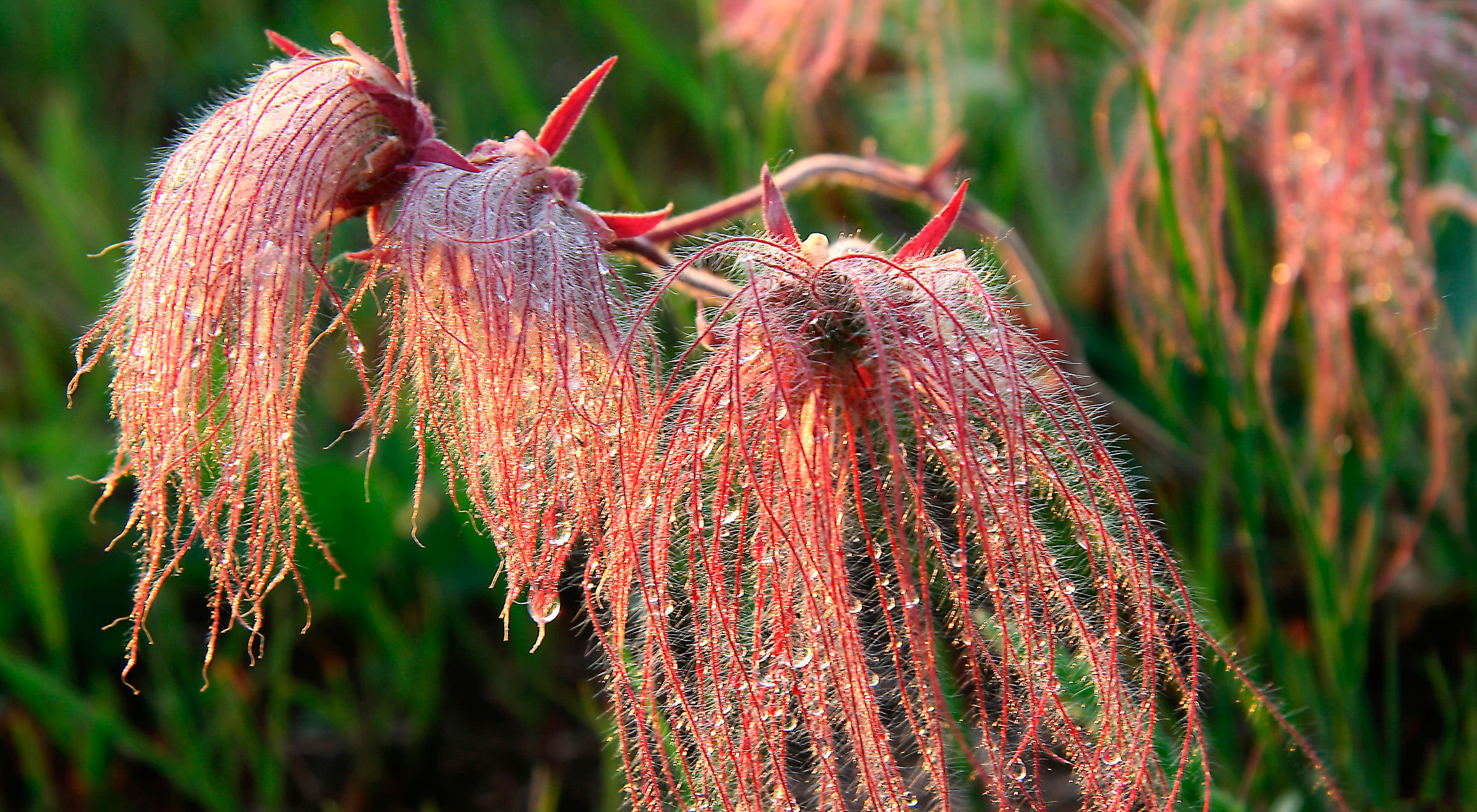 of prairie smoke.