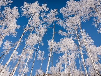 Skyward view of snow-covered tree tops.