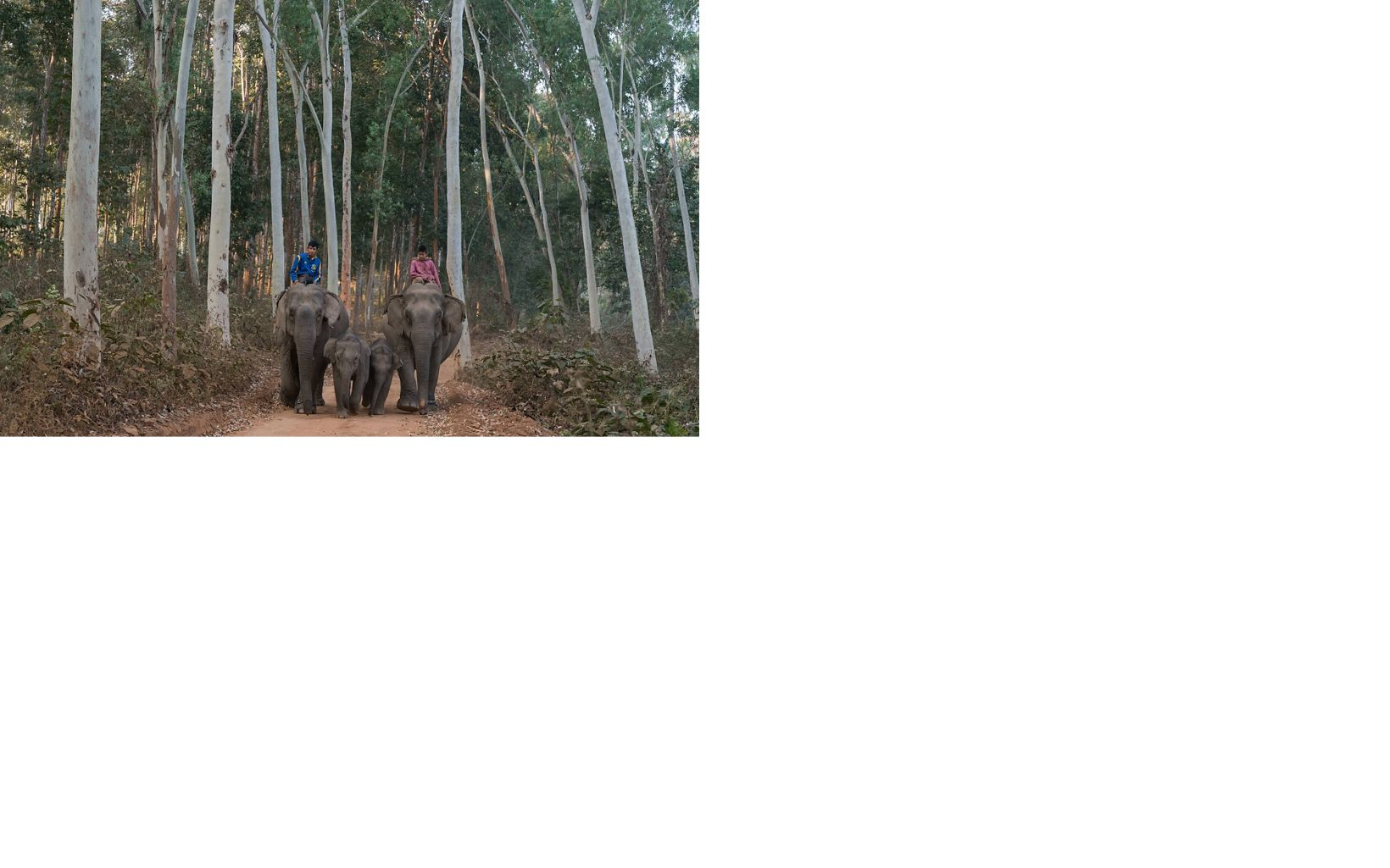 where tourists in Myanmar can come to observe elephants that were once used in these hardwood forests to drag out cut timber.