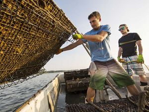 Workers on an oyster farm lift a shellfish cage.